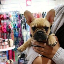 DOGUE wahroonga customer frenchie hamlet